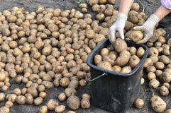 Landbouwer die organische aardappels oogst stock foto