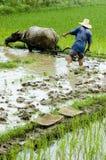 Landbouwer die in paddyfield werkt. Stock Afbeelding
