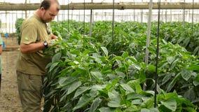 Landbouwer die peperinstallaties in serre herzien stock video