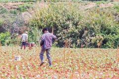 Landbouwer die in plantaardig landbouwbedrijf werken Royalty-vrije Stock Foto's