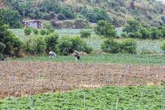 Landbouwer die in plantaardig landbouwbedrijf werken Stock Afbeelding
