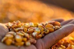 Landbouwer die rijpe graankorrels in zijn handen houden bij zonsondergang stock foto