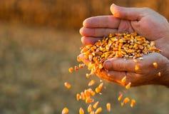Landbouwer die rijpe graankorrels in zijn handen houden bij zonsondergang royalty-vrije stock foto