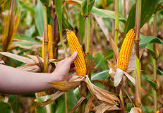 Landbouwer die rijpe maïskolf houden Royalty-vrije Stock Afbeelding