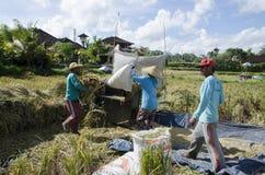 Landbouwer die rijst op traditionele manier verzamelen Ubud, Bali Indonesië stock afbeelding