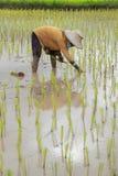Landbouwer die rijst planten Stock Afbeeldingen
