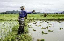 Landbouwer die rijst werpen Stock Afbeelding