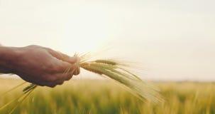 Landbouwer die tarwekwaliteit controleren alvorens te oogsten