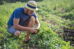 Landbouwer die vers gewas van peterselie op het gebied oogsten bij organisch ecolandbouwbedrijf Royalty-vrije Stock Fotografie