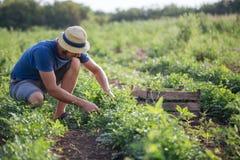 Landbouwer die vers gewas van peterselie op het gebied oogsten bij organisch ecolandbouwbedrijf Royalty-vrije Stock Afbeeldingen