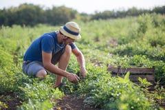Landbouwer die vers gewas van peterselie op het gebied oogsten bij organisch ecolandbouwbedrijf Stock Afbeelding