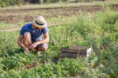 Landbouwer die vers gewas van peterselie op het gebied oogsten bij organisch ecolandbouwbedrijf Stock Afbeeldingen