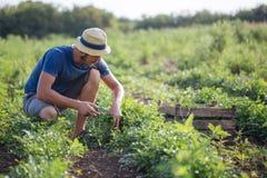 Landbouwer die vers gewas van peterselie op het gebied oogsten bij organisch ecolandbouwbedrijf Royalty-vrije Stock Foto's