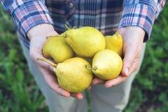 Landbouwer die verscheidene peren in zijn handen houden Stock Fotografie