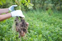 Landbouwer die verse aardappeloogst houden stock foto's