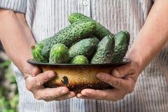 Landbouwer die verse komkommers houden Groentenoogst Royalty-vrije Stock Foto