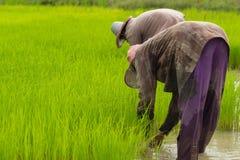 Landbouwer die zaailingen terugtrekken Stock Afbeelding