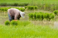 Landbouwer die zaailingen terugtrekken Stock Afbeeldingen