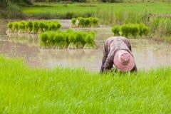 Landbouwer die zaailingen terugtrekken Royalty-vrije Stock Foto