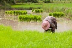 Landbouwer die zaailingen terugtrekken Royalty-vrije Stock Afbeelding