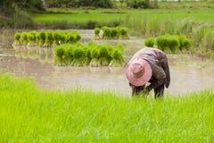 Landbouwer die zaailingen terugtrekken Royalty-vrije Stock Fotografie