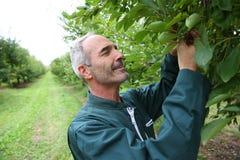 Landbouwer die zich in midden van pruimenbomen bevinden Royalty-vrije Stock Afbeeldingen