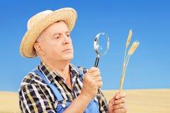 Landbouwer die zijn geoogste tarwe op een gebied onderzoeken Stock Fotografie