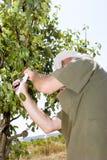 Landbouwer in een boomgaard stock fotografie
