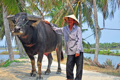 Landbouwer en buffels, Vietnam Stock Afbeelding