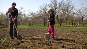 Landbouwer en dochter die aardappels op gebied in de vroege lente planten stock footage