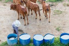 Landbouwer en koe Stock Foto