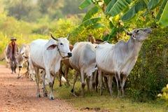 Landbouwer en koeien stock fotografie