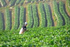 Landbouwer en mooi aardbeilandbouwbedrijf in de ochtend royalty-vrije stock foto