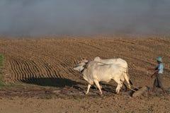 Landbouwer en zijn ossen op de gebieden Stock Foto