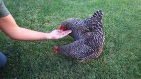 Landbouwer Hand Feeds Chicken