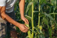 Landbouwer het inspecteren graangewas bij gebied van organisch ecolandbouwbedrijf Stock Foto's