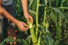 Landbouwer het inspecteren graangewas bij gebied van organisch ecolandbouwbedrijf Royalty-vrije Stock Afbeeldingen