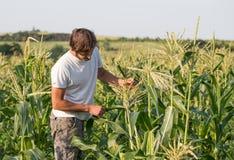 Landbouwer het inspecteren graangewas bij gebied van organisch ecolandbouwbedrijf Royalty-vrije Stock Afbeelding