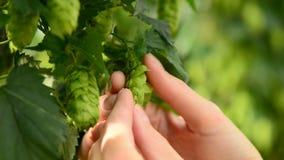 Landbouwer het inspecteren hop op het gebied, close-up stock videobeelden