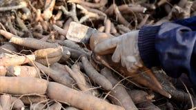 Landbouwer het oogsten maniok stock videobeelden