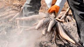 Landbouwer het oogsten maniok stock footage