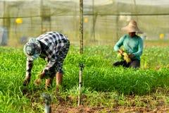Landbouwer het oogsten in organisch landbouwbedrijf royalty-vrije stock foto's