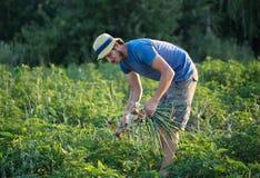 Landbouwer het oogsten ui op het gebied Royalty-vrije Stock Afbeelding