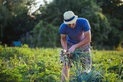 Landbouwer het oogsten ui op het gebied Stock Foto