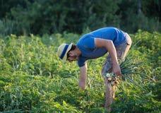 Landbouwer het oogsten ui op het gebied Royalty-vrije Stock Foto