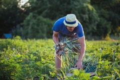 Landbouwer het oogsten ui op het gebied Stock Fotografie