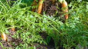 Landbouwer het oogsten wortelen stock videobeelden