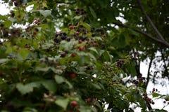 Landbouwer het plukken de braambessen op een farmBlack geurige framboos is verbazend met zijn vruchten stock fotografie