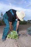 Landbouwer het plukken sla Royalty-vrije Stock Afbeeldingen
