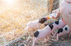 Landbouwer het voeden melk aan babyvarken in landbouwbedrijf royalty-vrije stock foto